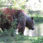 Ein Braunbär im Gehege im Wildpark Johannismühle